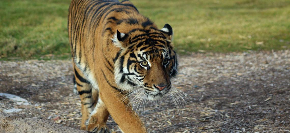El zoológico de Phoenix da bienvenida a nueva tigre de Sumatra