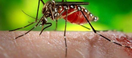 Descubren remedio para enfermedades por transmisión de mosquitos