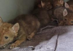 Rescatan a nueve cachorros de coyote cerca de Casa Grande