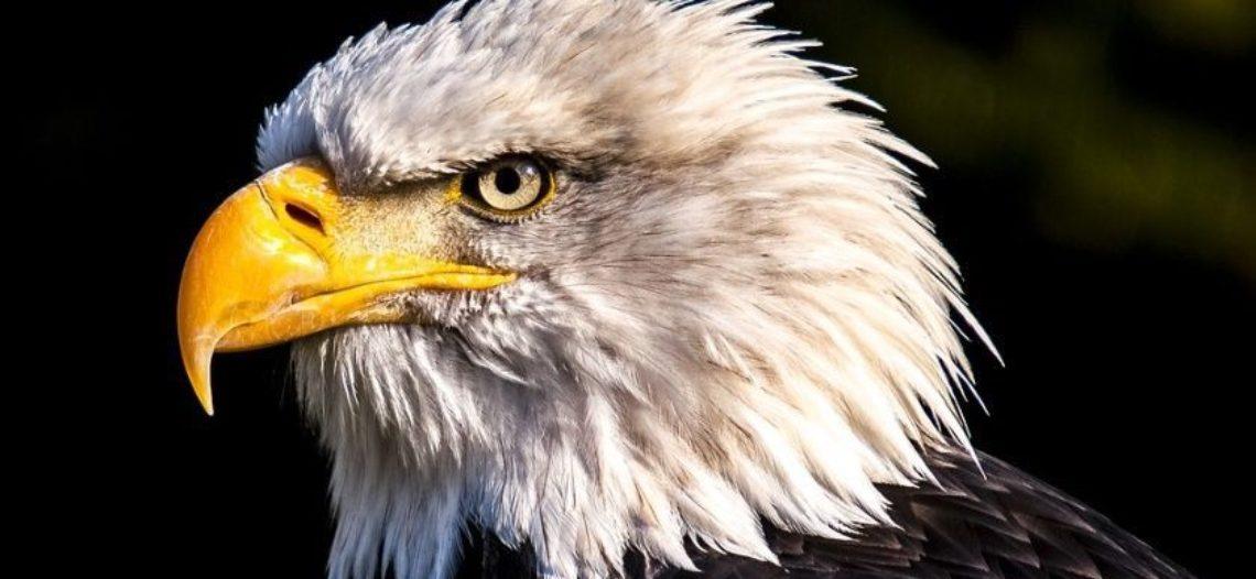 Bajan eclosiones del águila calva en Arizona